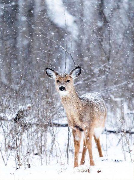 Plexi Bambi