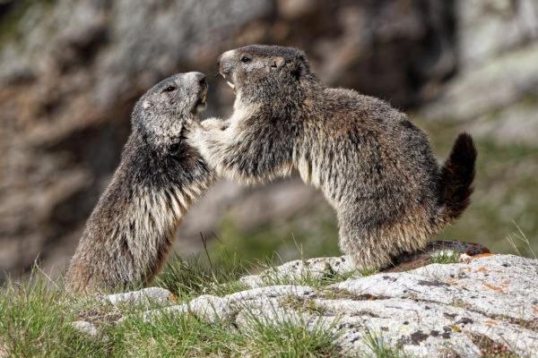Plexi Jeu de Marmottes