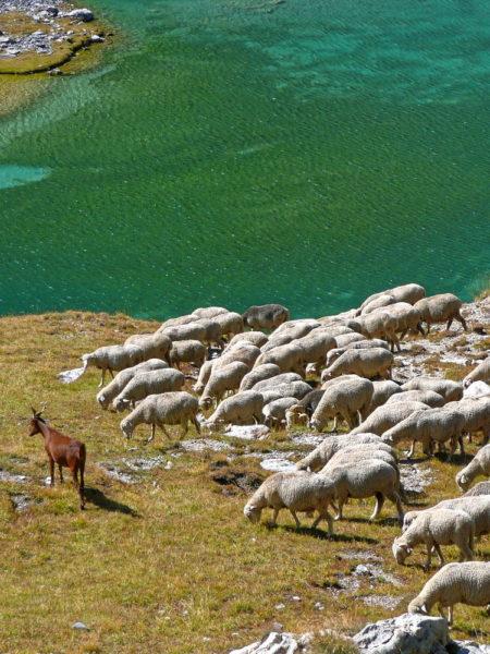 Plexi Moutons en alpages