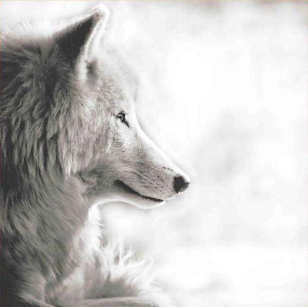Plexi Loup de Profil