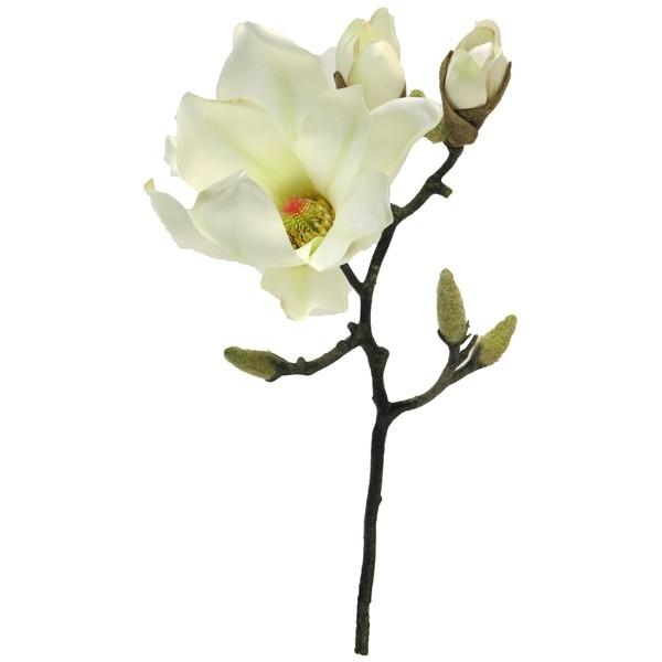 Branche de magnolia
